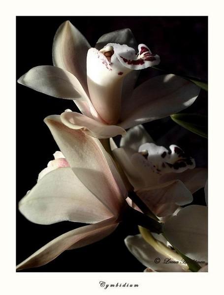 Cymbidium - Orchids