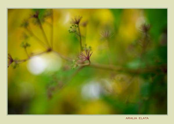 Aralia elata - Trees and Shrubs