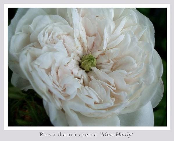 Rosa damascena 'Mme Hardy' 2 - Roses