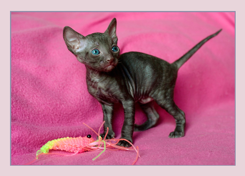 Coco 3 weeks - 3 - Mimmi's kittens