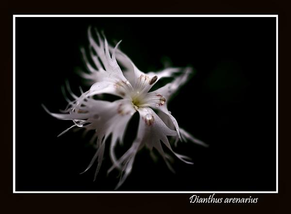 Dianthus arenarius - Garden perennials