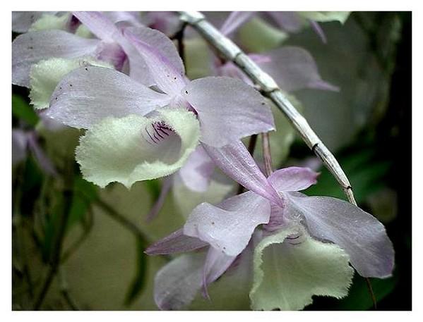 Dendrobium aphyllum - Orchids