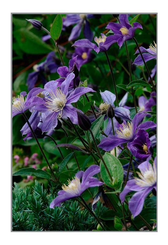 Clematis 'Arabella' - Garden perennials