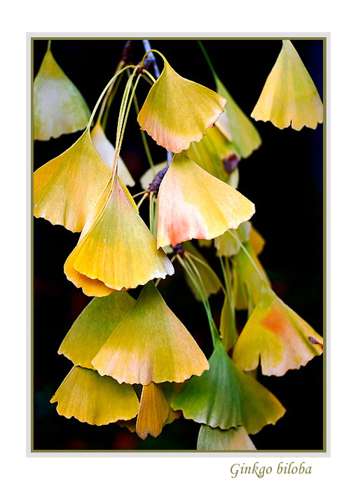 Ginkgo biloba - Trees and Shrubs