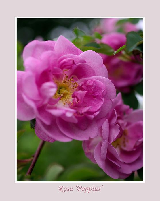 Rosa 'Poppius' 2 - Roses