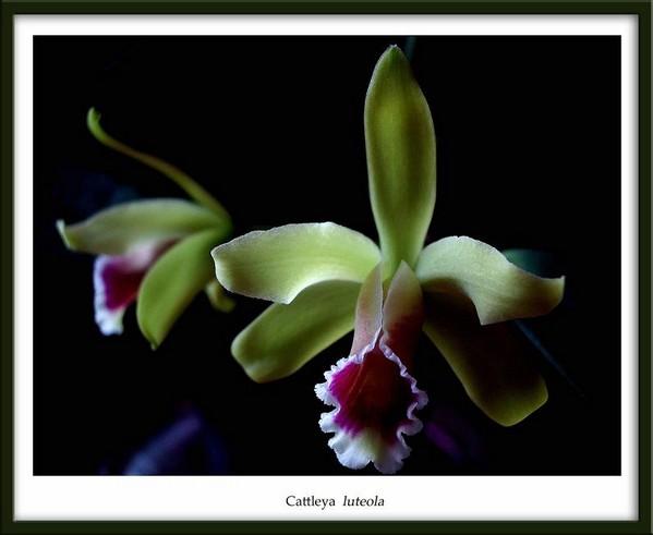Cattleya luteola - Orchids