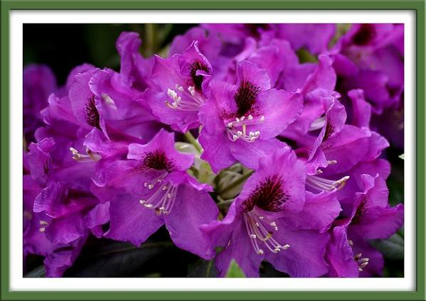 Rhododendron 'Rasputin' - Trees and Shrubs