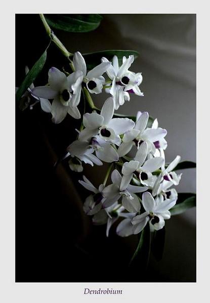 Dendrobium nobile hybr. 1 - Orchids