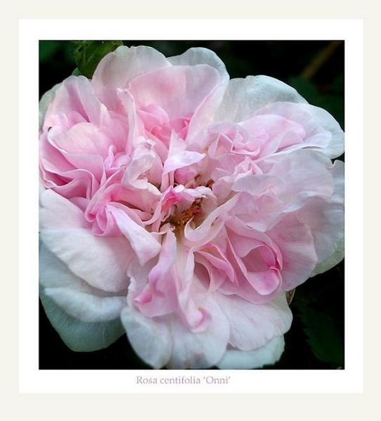 Rosa centifolia 'Onni' 2 - Roses