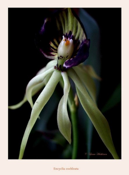 Encyclia cochleata - Orchids