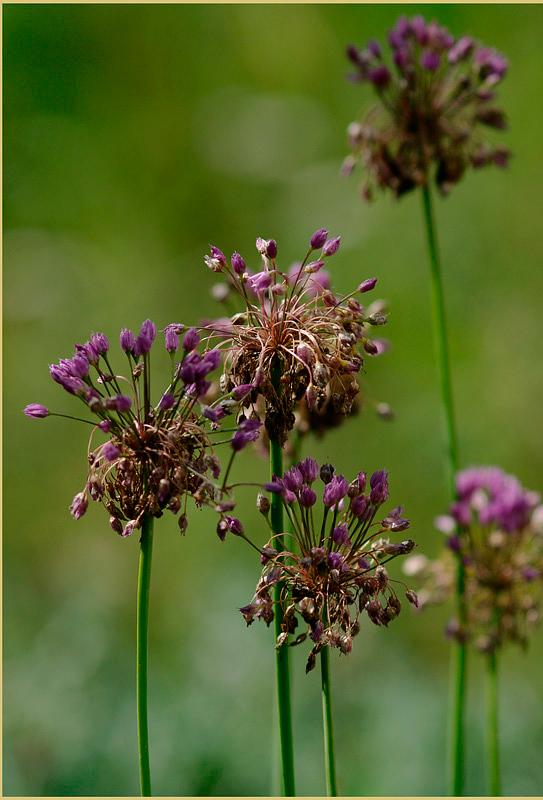 Allium sp. - Garden perennials