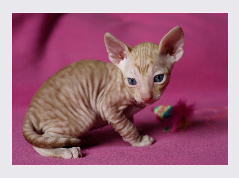 Dexter 3 weeks - 4 - Mimmi's kittens