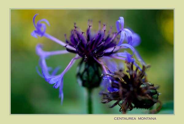 Centaurea montana 2 - Garden perennials