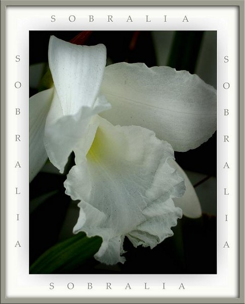 Sobralia macrantha - Orchids