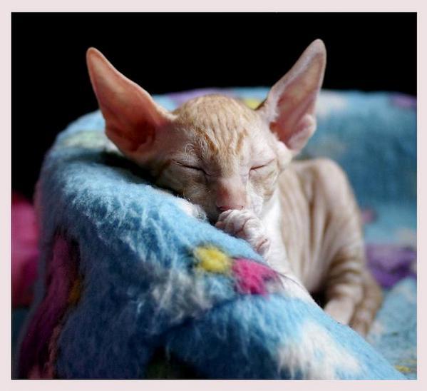 5 weeks - Alchemist Remus - Linssi's kittens