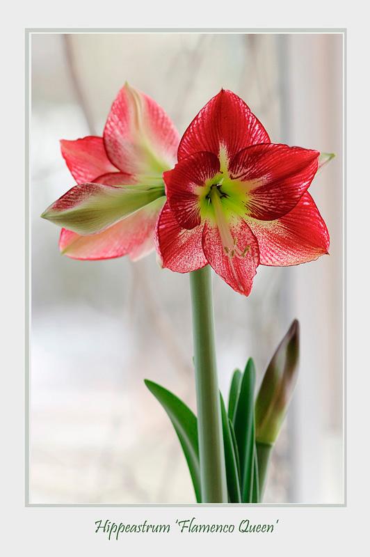 Hippeastrum 'Flamenco Queen' - Windowsill Garden