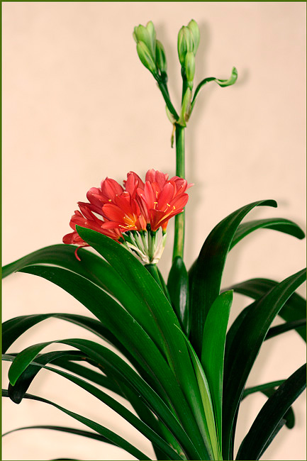 Clivia miniata Red with Green - Windowsill Garden
