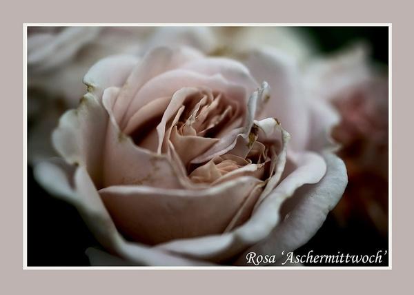 Rosa 'Aschermittwoch' 3 - Roses
