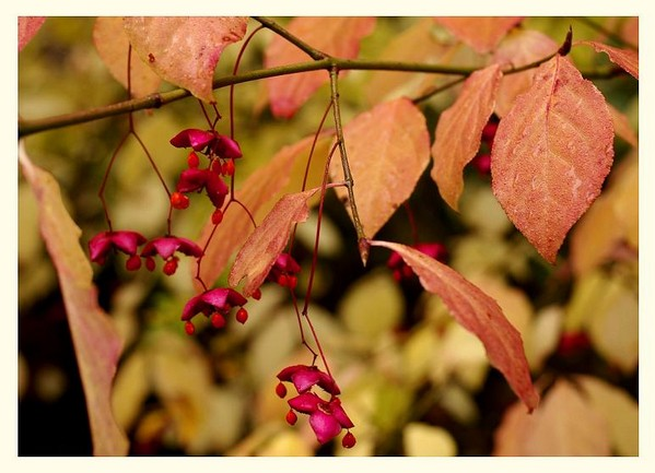 Euonymus planipes 2 - Trees and Shrubs
