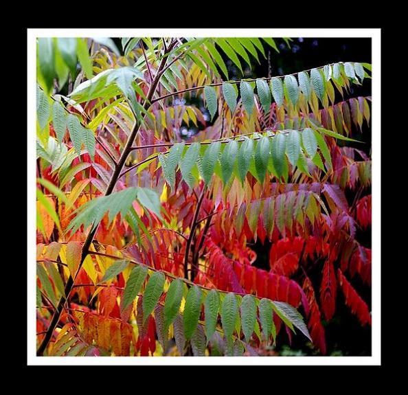 Rhus typhina 1.2 - Trees and Shrubs