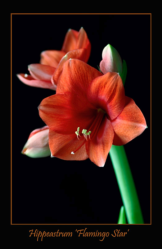 Hippeastrum 'Flamingo Star' - Windowsill Garden
