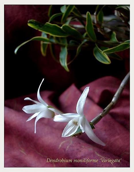 Dendrobium moniliforme - Orchids