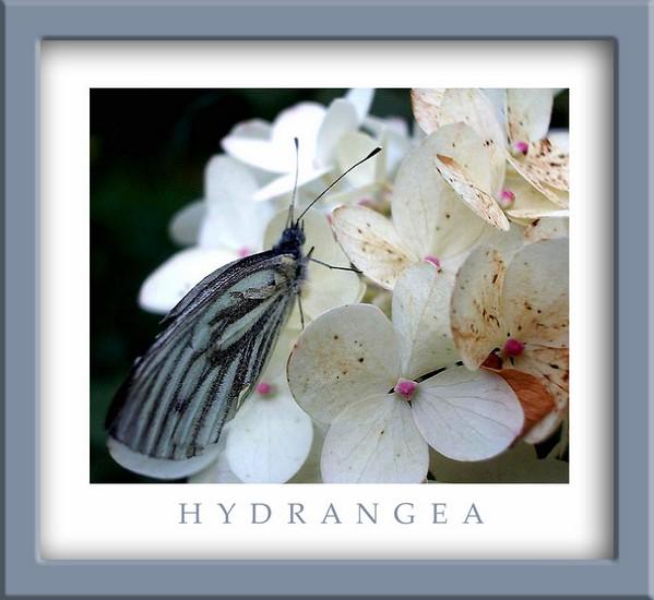 Aporia crataegi - Fauna