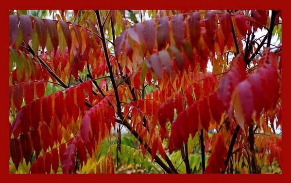Rhus typhina 2 - Trees and Shrubs