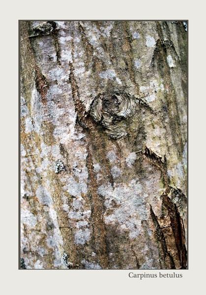 Carpinus betulus - Trees and Shrubs