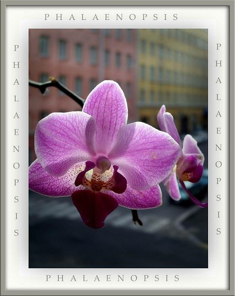 Phalaenopsis - Orchids