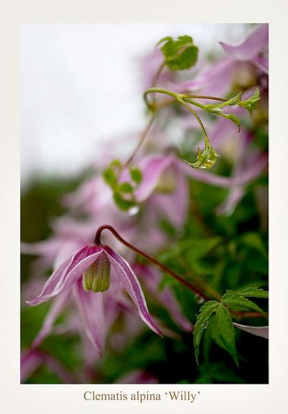 Clematis alpina 'Willy' - Garden perennials