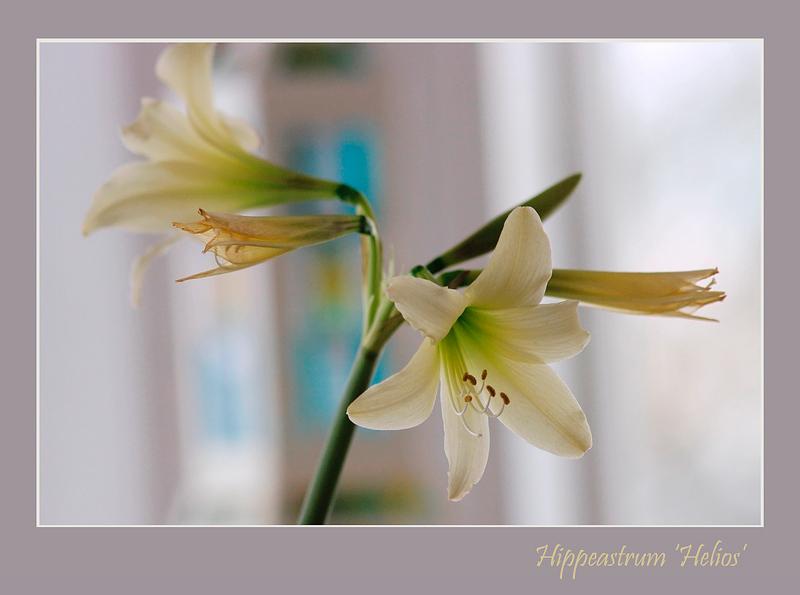 Hippeastrum 'Helios' - Windowsill Garden