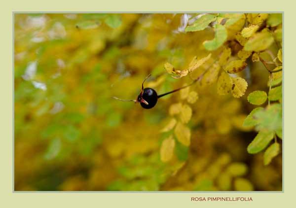 Rosa pimpinellifolia - Trees and Shrubs