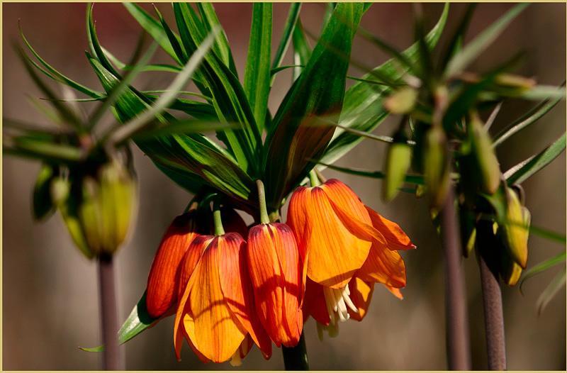 Fritillaria imperialis 'Beethoven' - Garden perennials