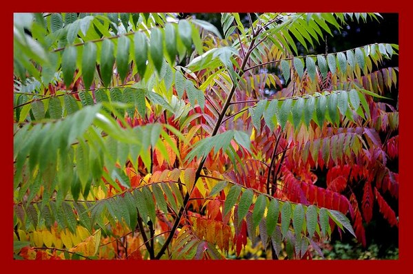Rhus typhina 1 - Trees and Shrubs