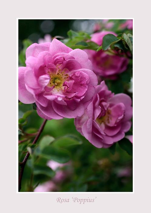 Rosa 'Poppius' 1 - Roses