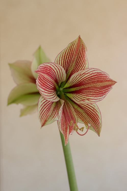 Hippeastrum 'Exotic Star' 3 - Windowsill Garden
