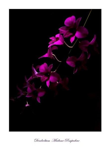 Dendrobium Madame Pompadour - Orchids