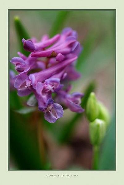 Corydalis solida - Garden perennials