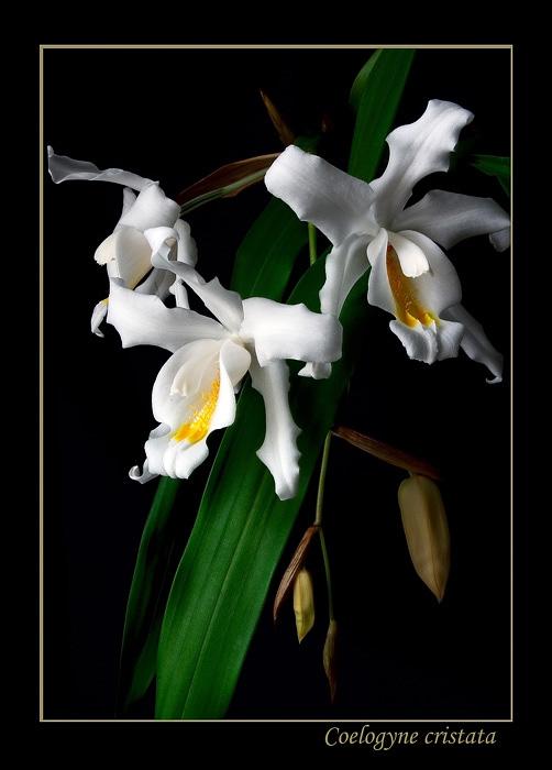 Coelogyne cristata - Orchids