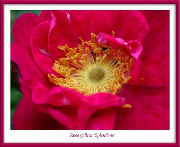 Rosa gallica 'Splendens' 1 - Roses