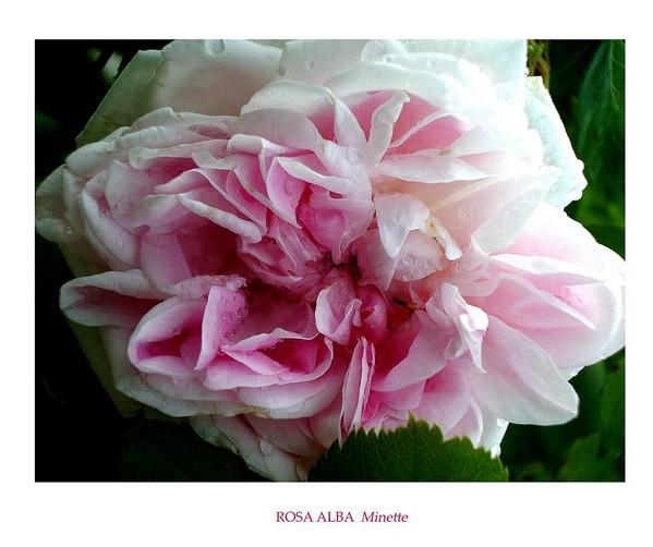 Rosa alba 'Minette' 2 - Roses