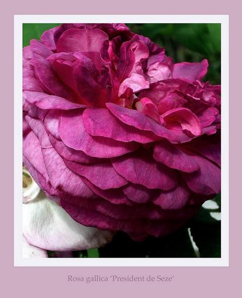 Rosa 'President de Seze' - Roses