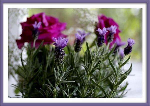 Lavender 'Madrid' - Still Life