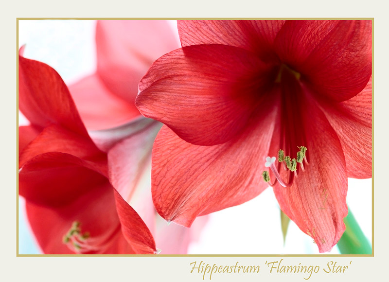 Hippeastrum 'Flamingo Star' 2 - Windowsill Garden