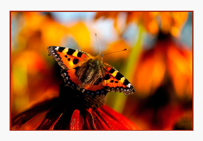 Aglais urticae - Fauna