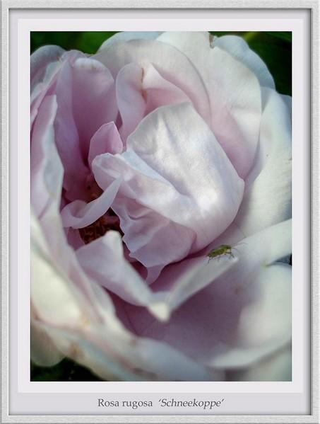 Rosa rugosa 'Schneekoppe' - Roses