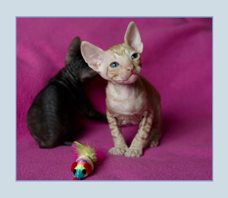 Dexter 3 weeks - 2 - Mimmi's kittens