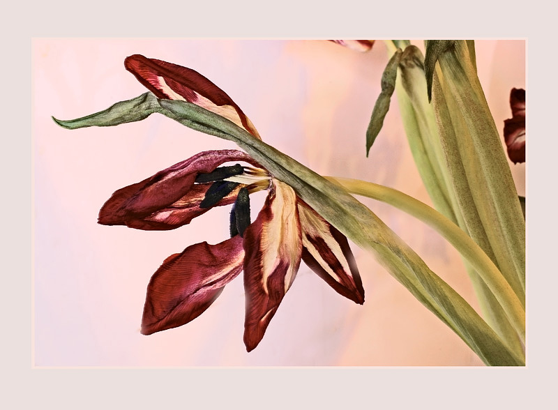 Christmas Tulips 2 - Still Life