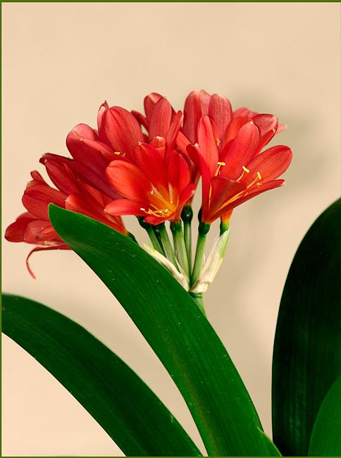 Clivia miniata Red - Windowsill Garden